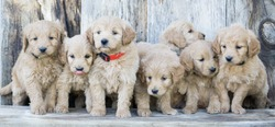 Adorable mini golden doodle puppies with barn wood back drop.