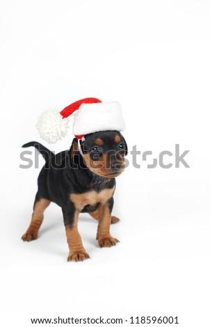 adorable miniature pinscher puppy with santa clouse hat