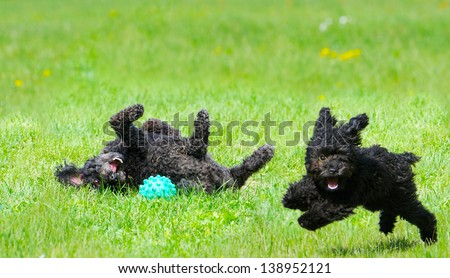 Adorable miniature poodle, and cute  toy poodle puppy having a great time in the yard in the Spring after a very long winter.