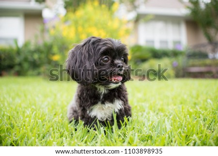 Eye and nose of little furry shih-tzu puppy Free Images and
