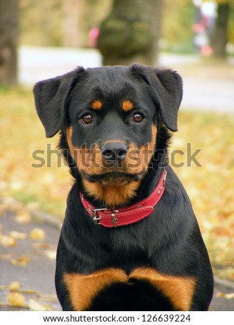 Adorable 5 month old rottweiler pup portrait in the autumn park
