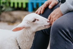 Adorable newborn lamb close up, tiny sheep standing next to a man, looking for love