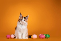 Adorable odd eyed Maine Coon cat kitten, sitting inbetween painted easter eggs. Looking straight to camera. Isolated on solid orange background.