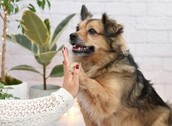 Adorable one ear-up mixed breed dog gives high five to his female owner in a room decorated with lots of indoor plants. Concept of benefits having adopted dogs.
