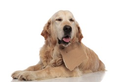 adorable panting labrador with carton sign around neck lying on white background