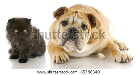 adorable persian kitten and english bulldog puppy with reflection on white background