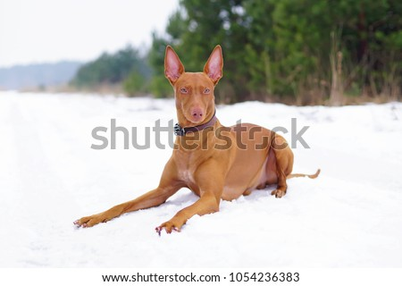 Adorable Pharaoh hound with a leather collar lying down on a snow in winter #1054236383