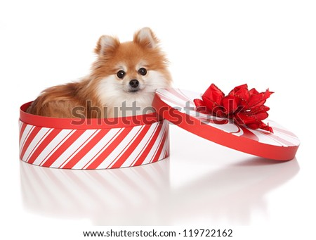 Adorable pomeranian in a Christmas box with a red bow.  Isolated on white.