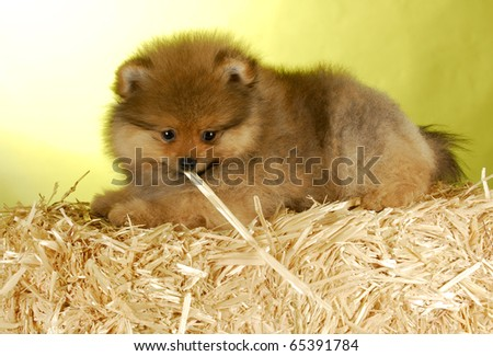 adorable pomeranian puppy laying on bale of straw with yellow background