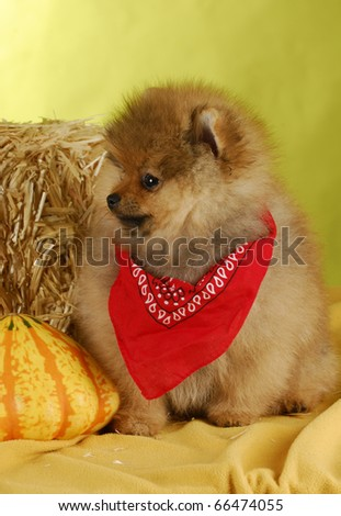 adorable pomeranian puppy sitting beside gourds and bale of straw on yellow background