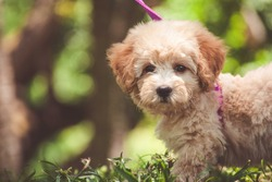 Adorable poodle puppy in nature