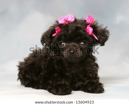 Poodle Puppies on Adorable Poodle Puppy With Pink Bows Stock Photo 13604923
