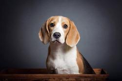 Adorable Portrait of a Blue Beagle Puppy