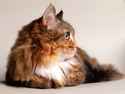 Adorable portrait of a domestic cat. Multi-colored long-haired fluffy cat with green eyes. Ginger adult cat. The cat looks away