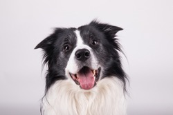 adorable portrait of amazing healthy and happy adult black and white border collie in the photo studio on the white background
