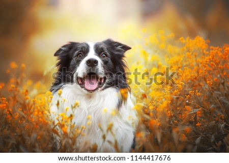 adorable portrait of amazing healthy and happy old black and white border collie in the flowers