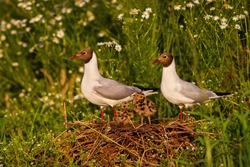 Adorable portrait of black-headed gull family nesting by the wild chamomile