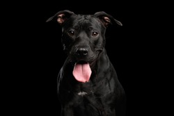 Adorable Portrait of Pitbull Dog Isolated on Black Background, front view