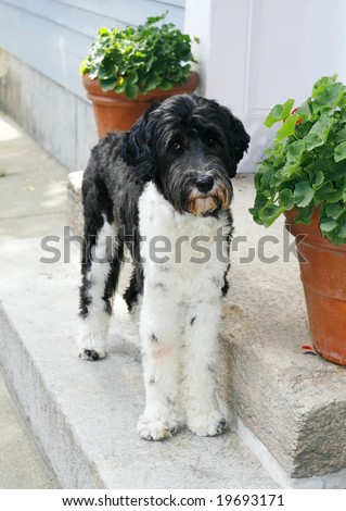 adorable portuguese water dog