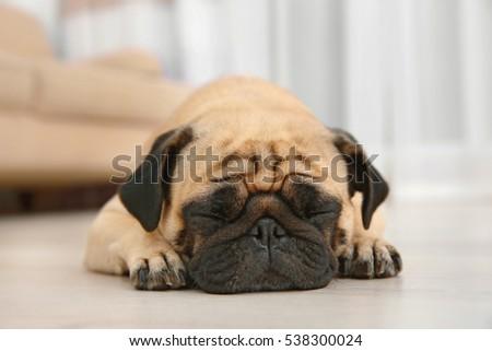 Adorable pug dog lying on floor at home #538300024