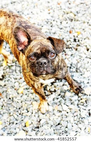 adorable  pug dog with one bent ear and one straight-up ear