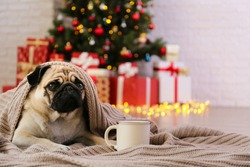 Adorable pug over the christmas tree with blurry festive decor. Portrait of beloved dog with wrinkled faceat home and pine tree with bokeh effect lights. Close up, copy space.