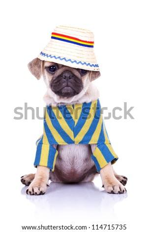 adorable pug puppy dog sitting wearing clothes and a traditional romanian hat looking away from the camera. on white background