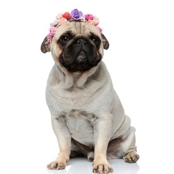 Adorable Pug puppy wearing a crown made of flowers while sitting on white studio background