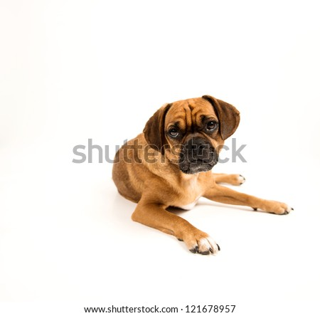 Adorable Puggle Dog on White Background