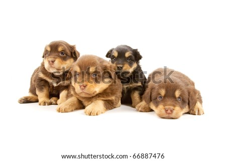 Adorable puppies isolated on a white background