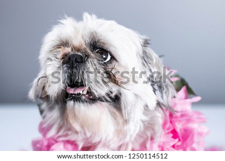 Adorable puppy dog eyes on funny looking shih tzu