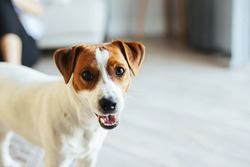 Adorable puppy Jack Russell Terrier at home, looking at the camera.   Portrait of a little dog.