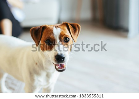 Adorable puppy Jack Russell Terrier at home, looking at the camera.   Portrait of a little dog. Foto stock ©