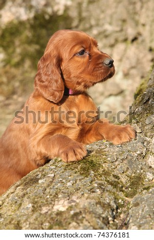 Adorable Puppy of Irish Red Setter