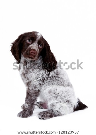 Adorable puppy spaniel