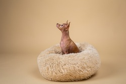 Adorable purebred Toy terrier looking aside while sitting on fluffy dog bed at home
