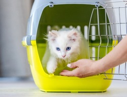 Adorable ragdoll cat goes out from pet carrying for transportation when owner hand opens metal lattice. Purebred fluffy domestic feline animal and basket