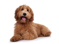 Adorable red / abricot Labradoodle dog puppy, laying down side ways, looking towards camera with shiny dark eyes. Isolated on white background. Mouth open showing pink tongue.