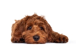 Adorable red Cobberdog aka Labradoodle dog puppy, laying down facing front head flat on the floor. Looking straight to camera, closed mouth. Isolated on a white background.