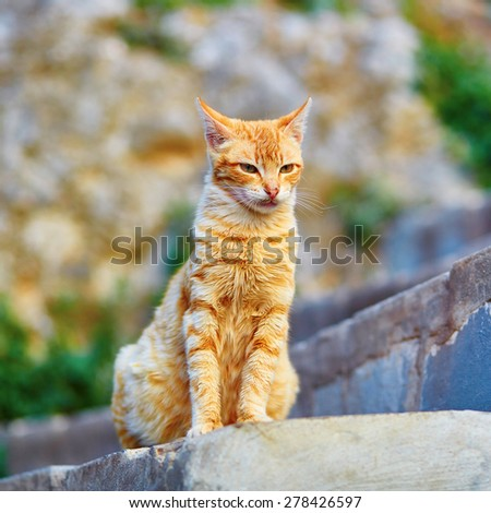 Adorable red tabby cat on a street in Medina of Chefchaouen, Morocco, small town in northwest Morocco known for its blue buildings