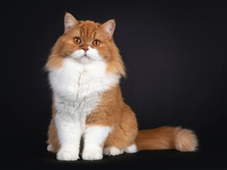 Adorable red with white British Longhair cat, sitting facing front. Looking to camera with big orange eyes. Isolated on black background.