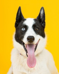 adorable rescue dog with two differently colored eyes at an adoption center, with a bright sunny yellow background