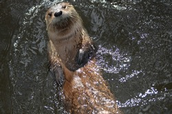 Adorable river otter floating on his back while swimming.
