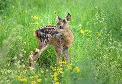 Adorable  roe deer fawn Capreolus capreolus