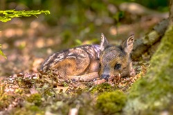Adorable roe deer fawn (Capreolus capreolus) resting in reliance of camouflage in forest. Friesland, Netherlands. Wildlife scene in nature of Europe.