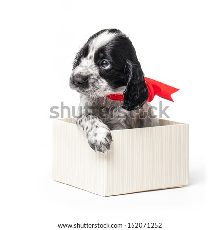 Adorable Russian Spaniel puppy in a gift box with a red ribbon isolated on a white background.