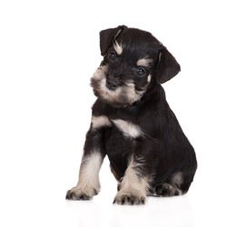 adorable schnauzer puppy sitting on white