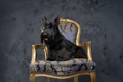 Adorable scottish terrier dog sitting on luxurious armchair