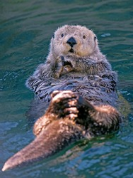 Adorable Sea otter in the water, floating on its back, looking up.