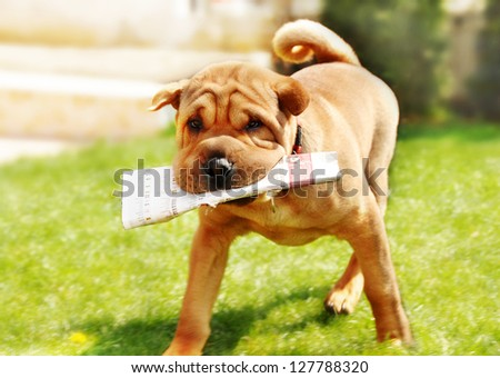 adorable shar pei dog carrying newspaper over green natural background outdoor
